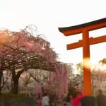 Enjoy the beautiful cherry blossom in the evening at Hirano Shrine