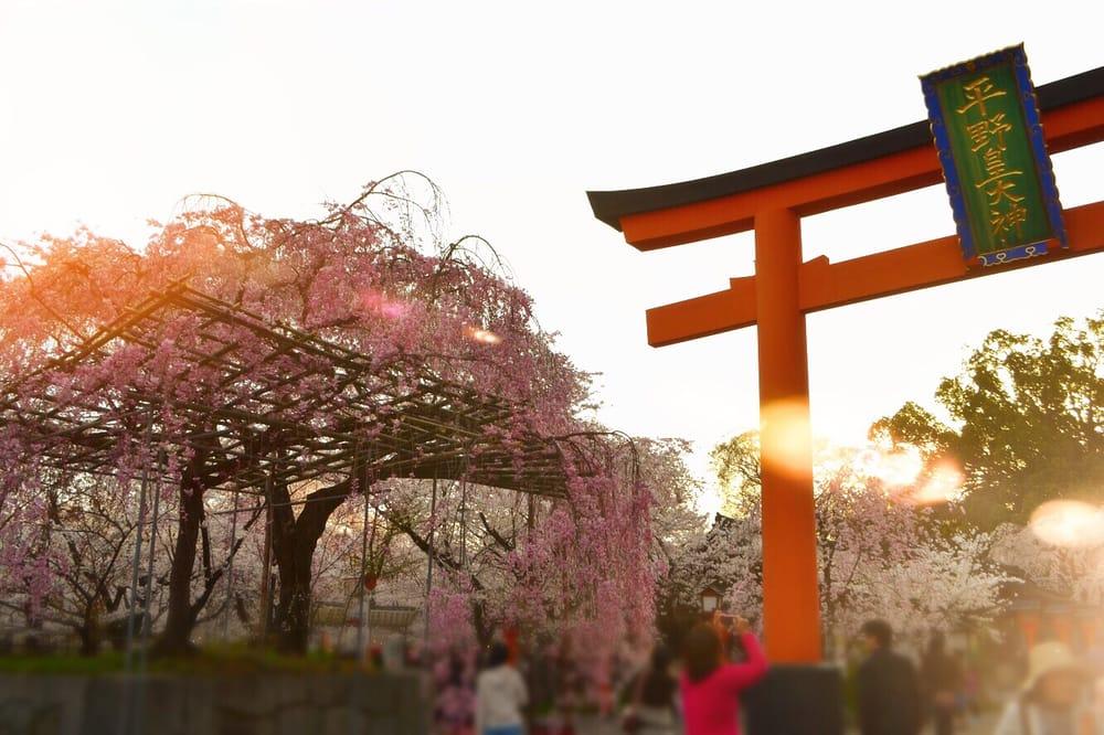 교토의 봄을 밤 벚꽃과 함께 「히라노진자」