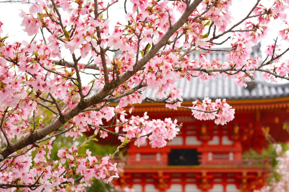 京都一遅咲きの桜が咲き誇る「仁和寺」