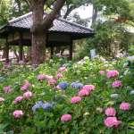 장마 때가 피크, 아리따운 수국 사원 「후지노모리 진자(藤森神社)」