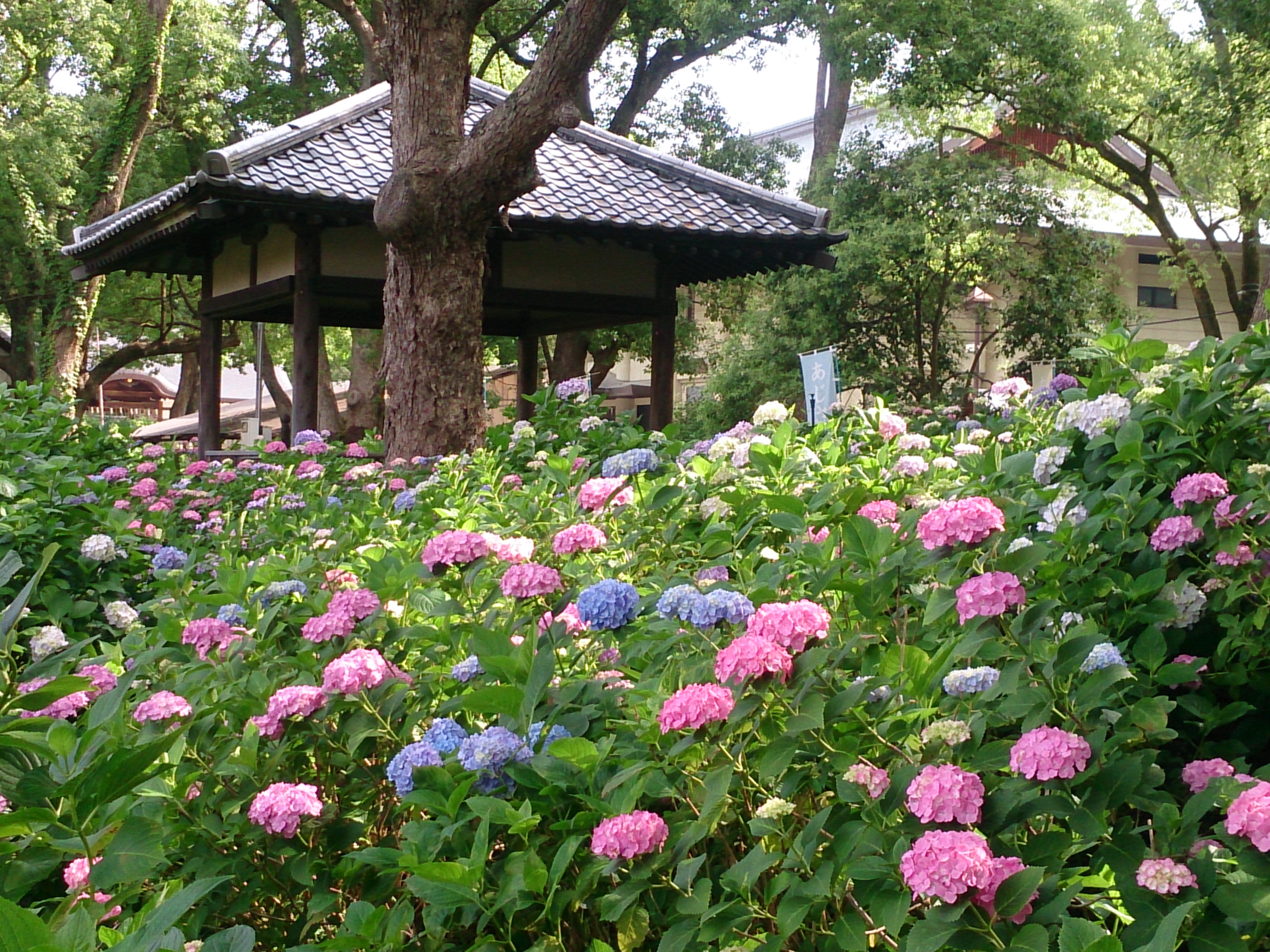 Fujinomori Shrine: A beautiful hydrangea heaven, perfect for the rainy season