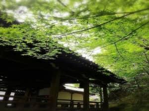 目睹約3000株楓葉因季節而變的美「禪林寺 永観堂」