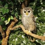和貓頭鷹親密接觸「京都貓頭鷹之森」