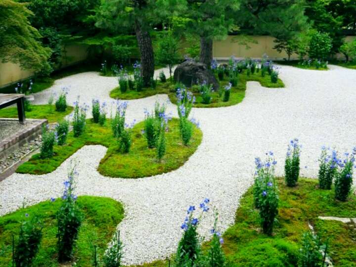 白砂に映える、桔梗が咲き誇る庭