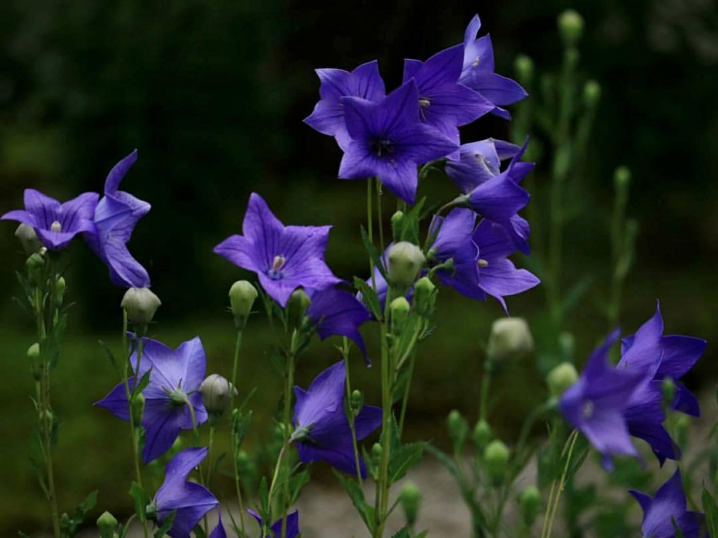 Fully blooming Bellflowers