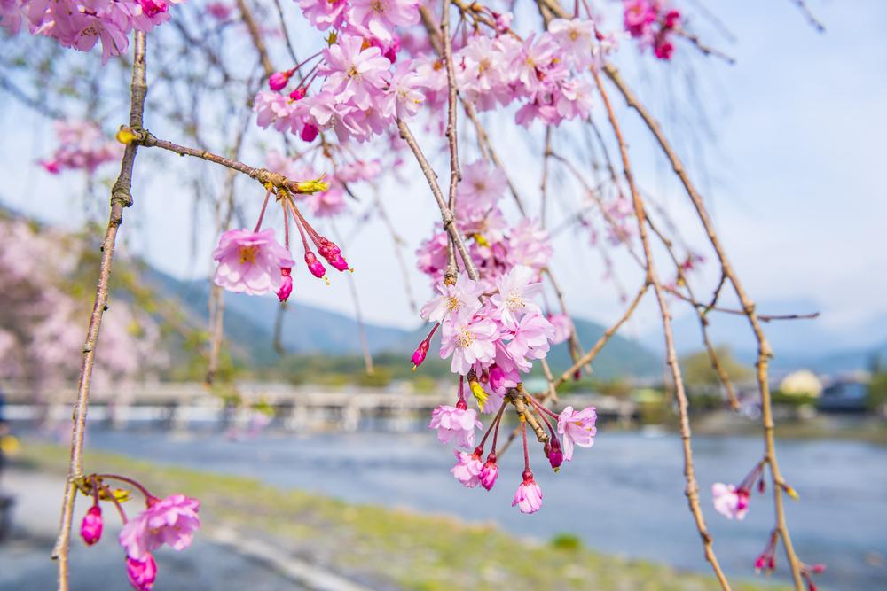 春季的樱花色染满整个岚山