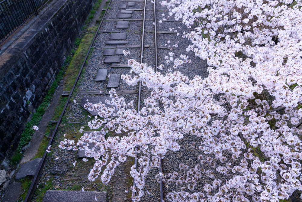 Just like a scene in a movie! See unforgettable Kyoto cherry blossom scenery at the Keage Incline