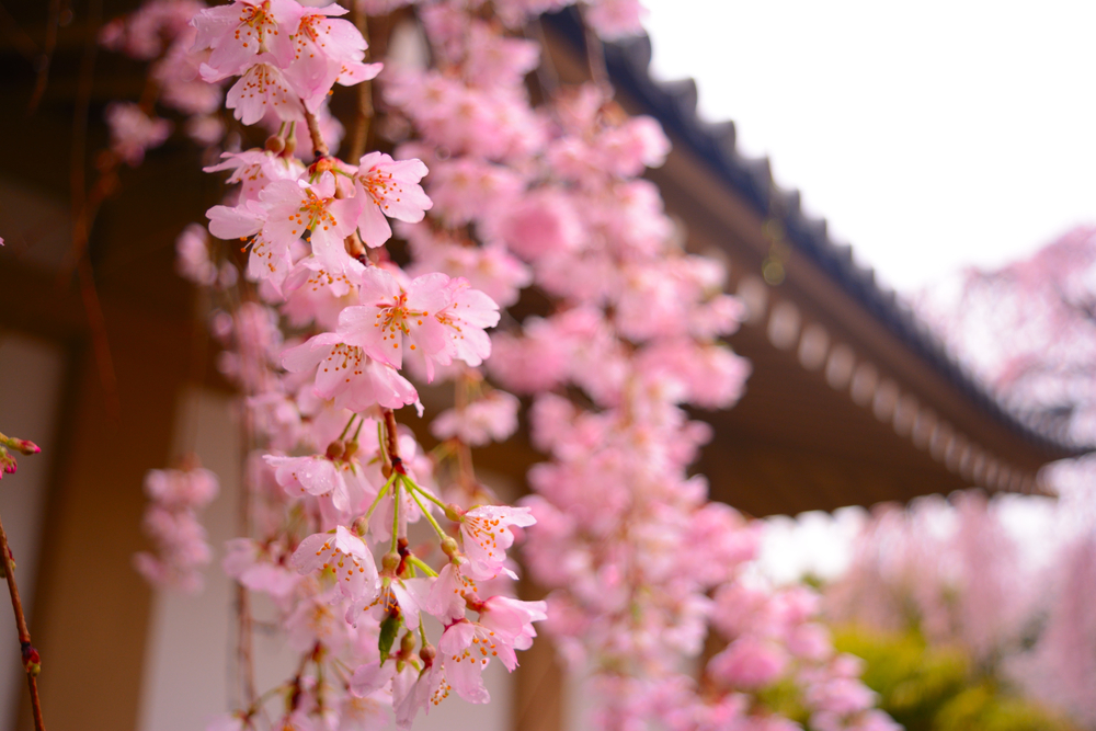 Let's enjoy Kyoto's early blooming cherry blossoms