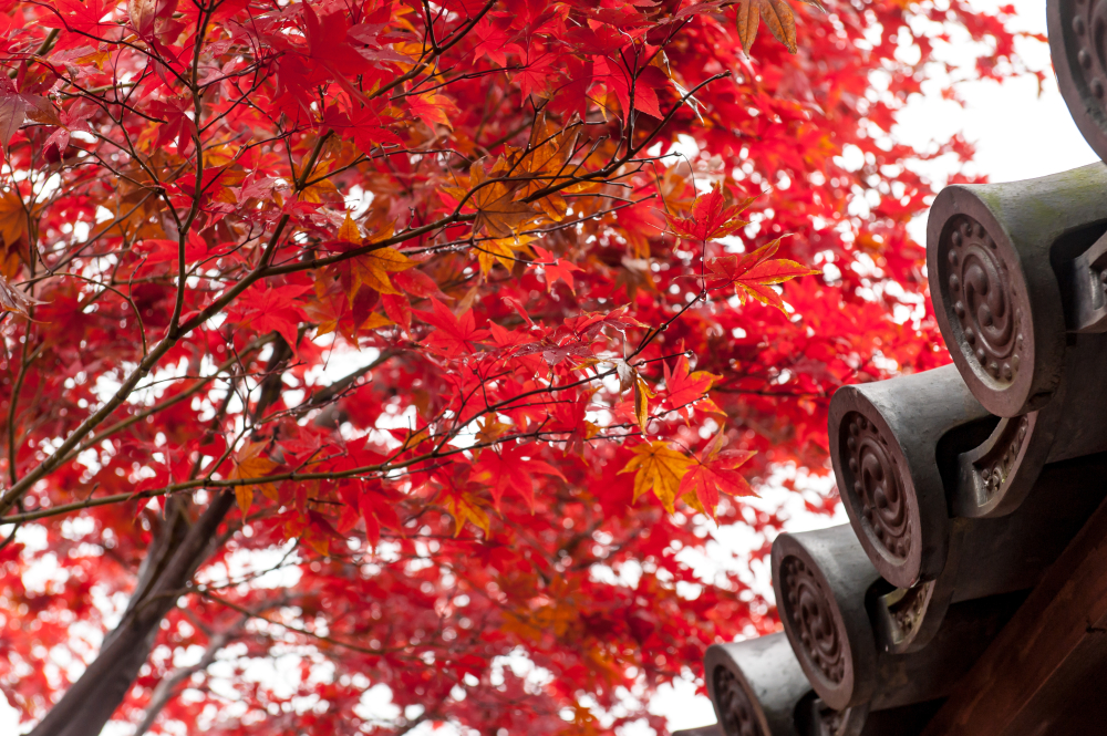 京都的红叶景点5选!在秋天的京都会遇见难忘的红叶风景吧 !