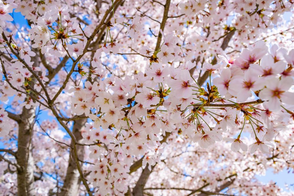400本を超える桜が満開に咲き誇る花見スポット