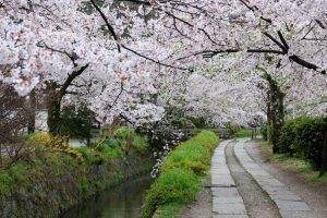 The Philosopher's Path: Enjoy a stroll through Kyoto under a splendid cherry blossom tunnel