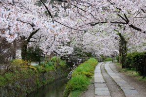 穿过美丽的樱花隧道 可以在京都的哲学之道享受散步的乐趣