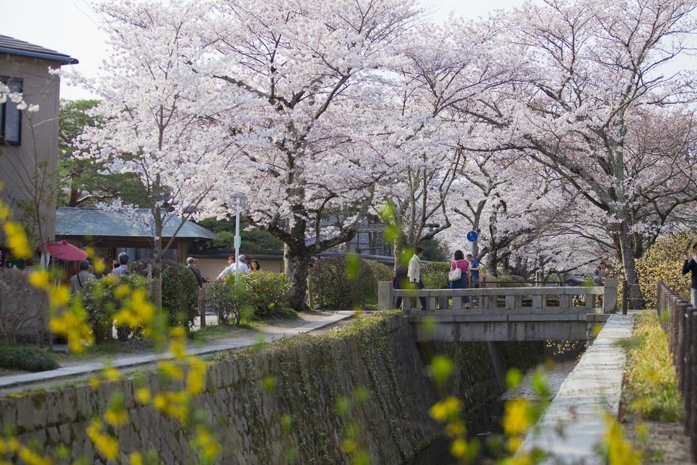 在悠閑自在的時間裏觀賞京都的櫻花如何?