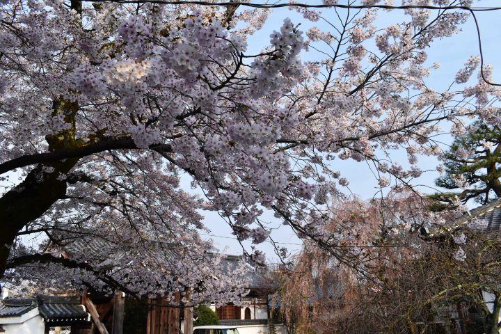本満寺の桜