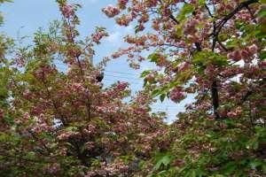 千本ゑんま堂 引接寺の桜