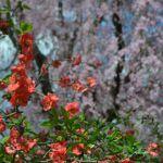 교토부립식물원の桜
