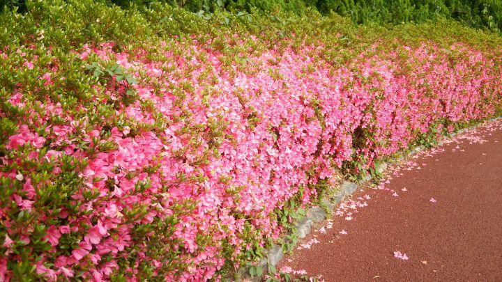 京都府立植物园の桜