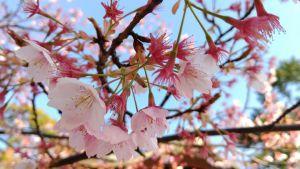 豊国神社の桜