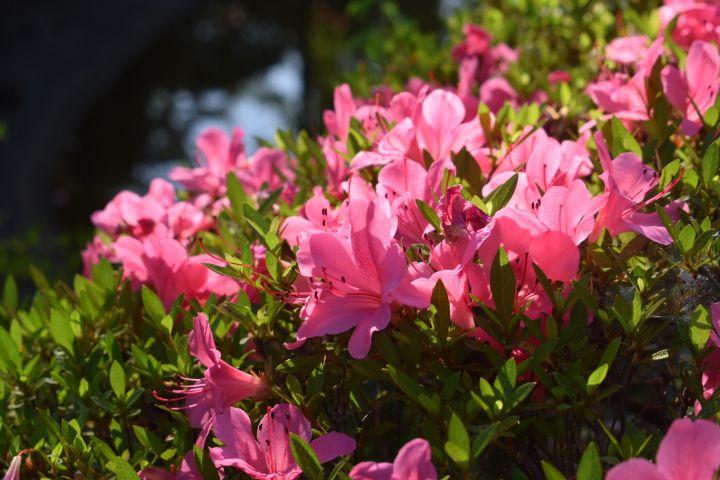 真正極楽寺(真如堂)の桜