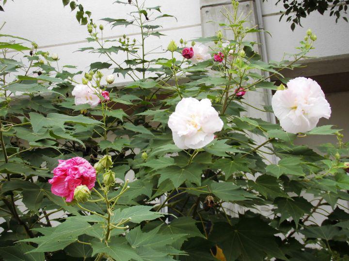 引接寺(千本ゑんま堂)の桜