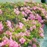 东福寺の桜