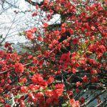 뵤도인の桜
