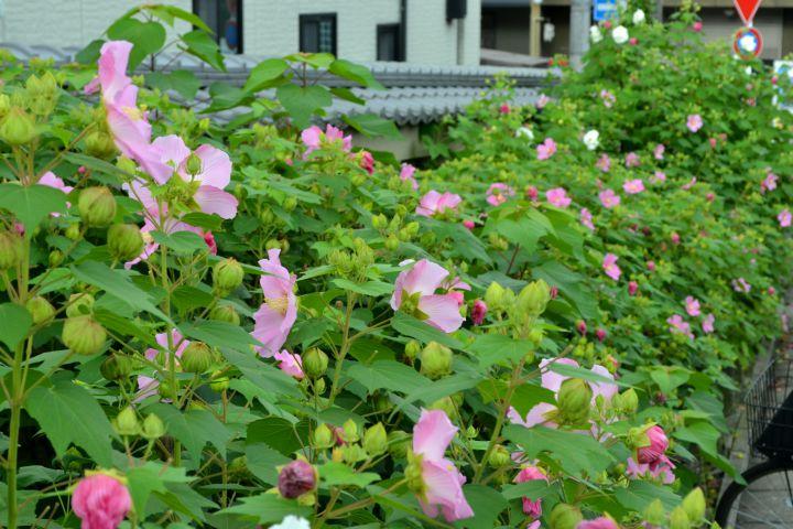 東福寺の桜