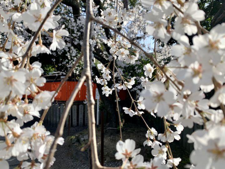 車折神社の桜