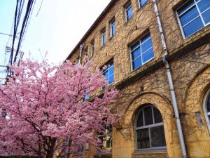 旧成徳中学校の桜