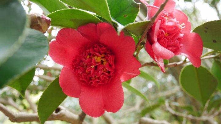 霊鑑寺の桜