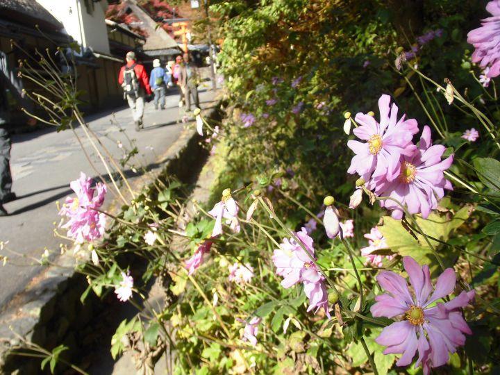 嵯峨鳥居本の桜
