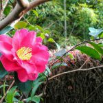 鈴虫寺の桜