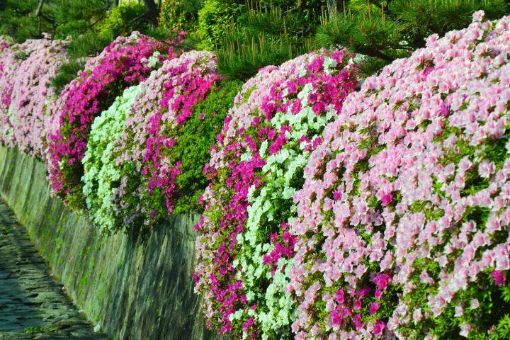 西本願寺の桜