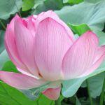 東本願寺の桜