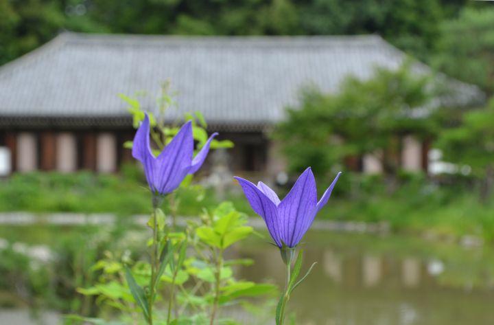 浄瑠璃寺の桜