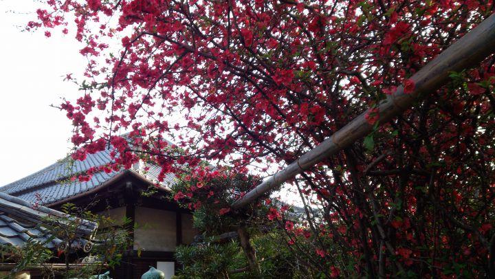 안쇼인 (히기리지조우)の桜