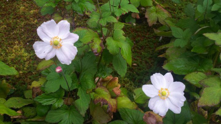 天授庵の桜