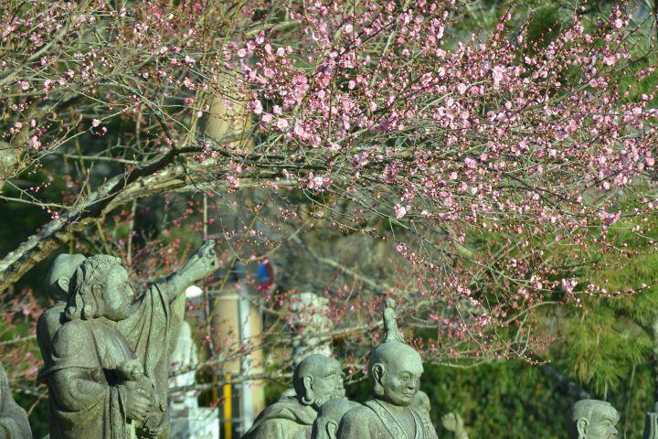宝厳院の桜