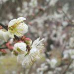 月ヶ瀬梅林の桜