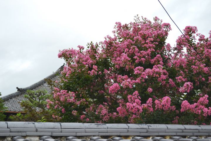 華開院の桜