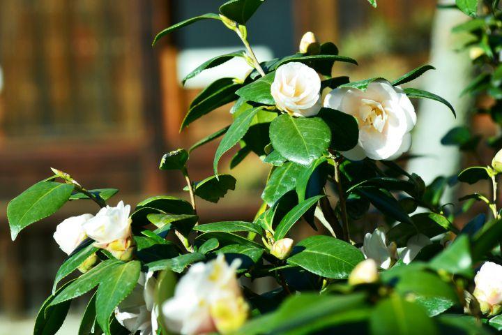興聖寺の桜