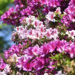 미무로토지の桜