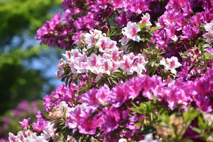 三室戸寺の桜