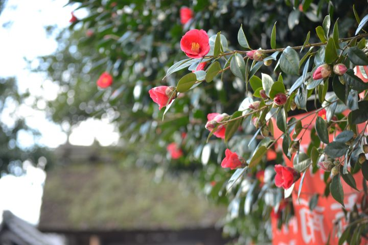 瑞光寺の桜