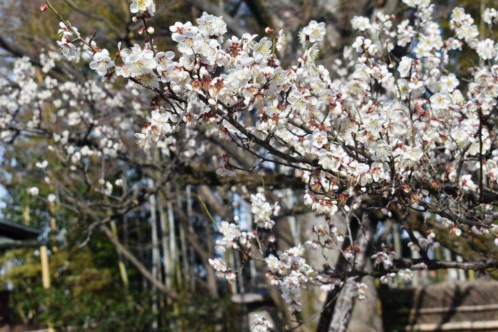 松花堂庭園の桜