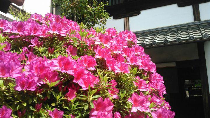光明院の桜