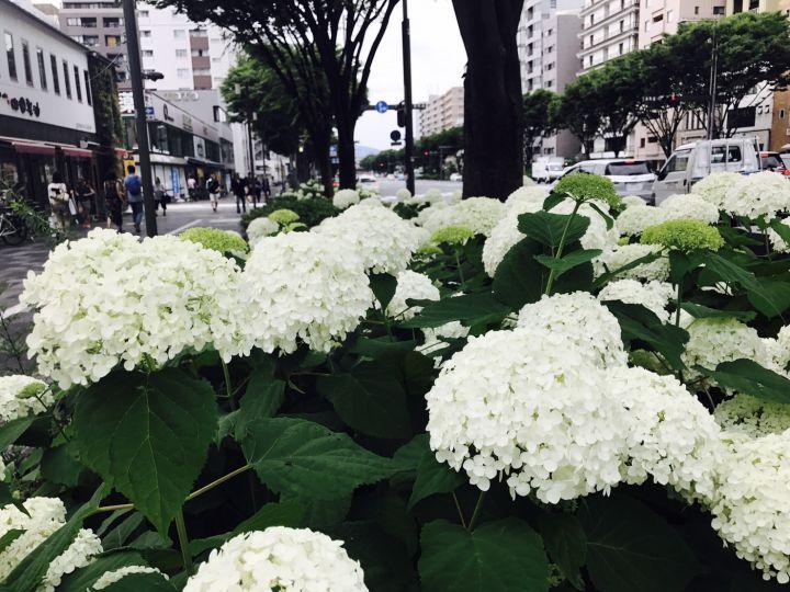 御池通(鴨川~堀川)の桜