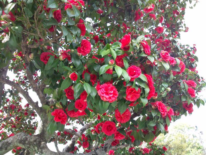 広沢池の桜