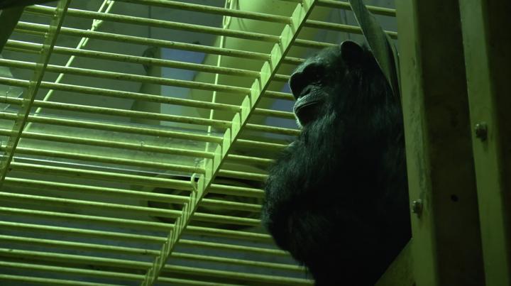 元気なチンパンジーを観察できる類人猿舎へ